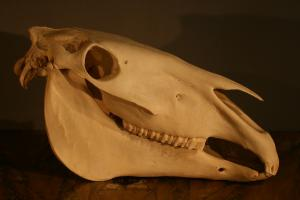 Etude pédagogique d'un crâne de cheval