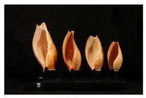 Quatre coquillages de l'espèce Cymbium originaire du Golfe de Guinée