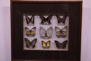 9 dans le cas où l'affichage collection de papillon avec le verre et le cadre avec des légendes papillons